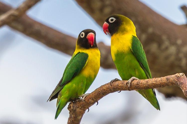 Eye ring lovebird