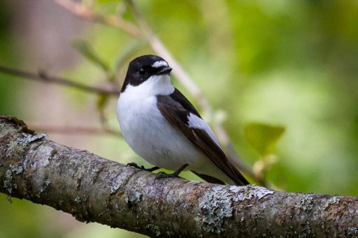 All about flycatcher