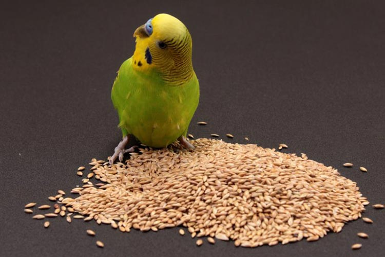 How to feed a parakeet