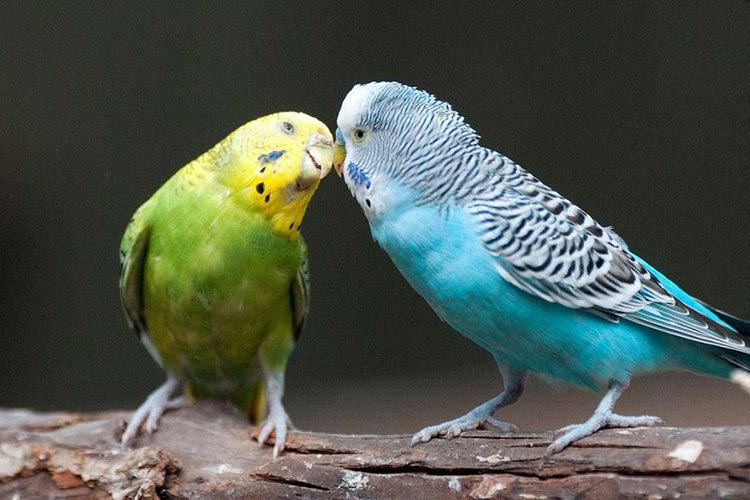 How to carry out parakeet breeding