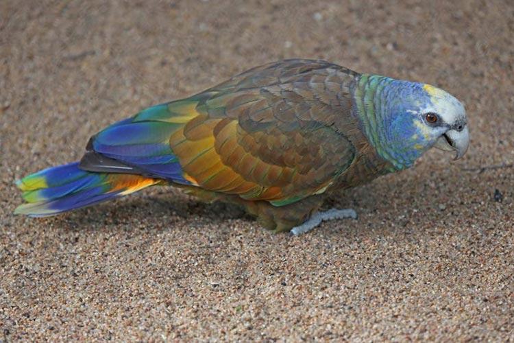Saint Vincent parrot