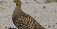 All about sandgrouse