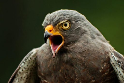 All about sparrowhawk