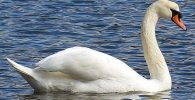 All about swan