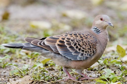 All about turtledove