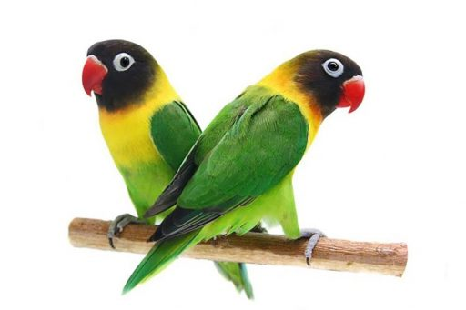 Yellow-collared lovebird