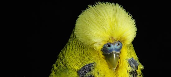 English budgie yellow