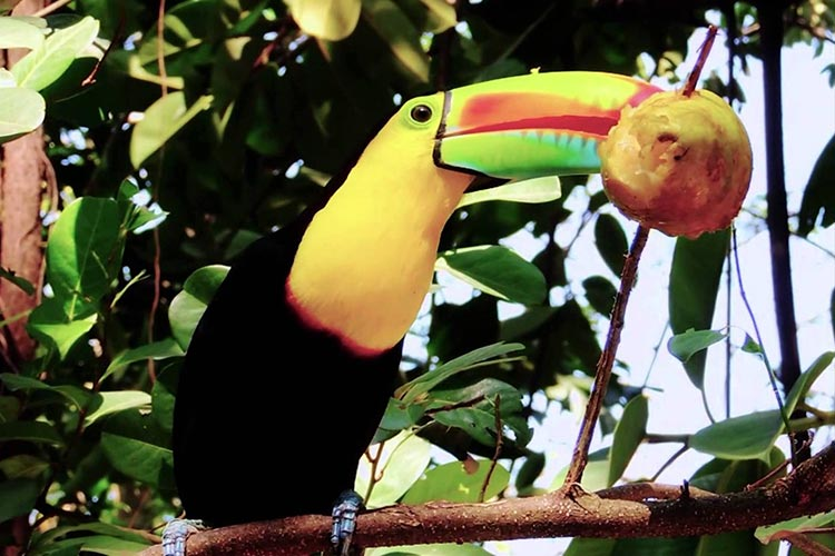 Toucan eating