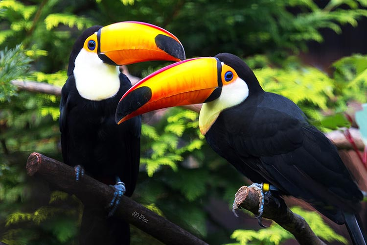 Toucans breeding